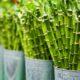 Bambus står i spandevis
